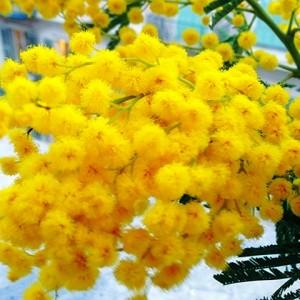 brin de mimosa
